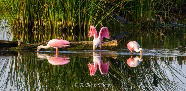 Roseate Spoonbills Three is a charm_93E0740