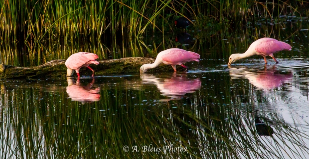 Roseate SpoonbillsThree is a charm_93E0716