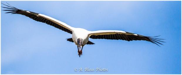 Wood stork landing_93E9301-2