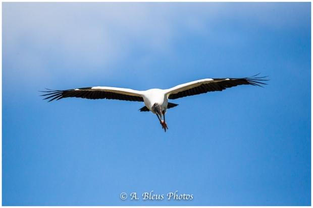 Wood stork landing_93E9301