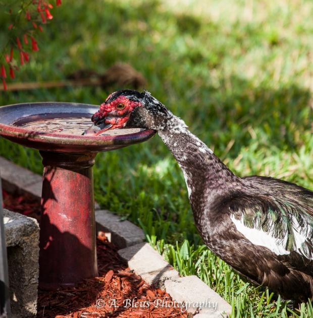 Duck in my yard MG_1529-2