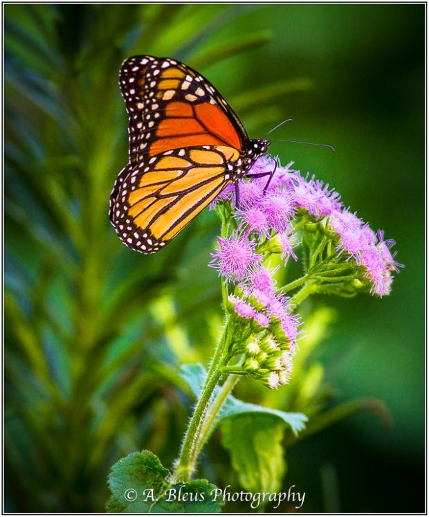 Monarch Butterfly on wild flower MG_0381