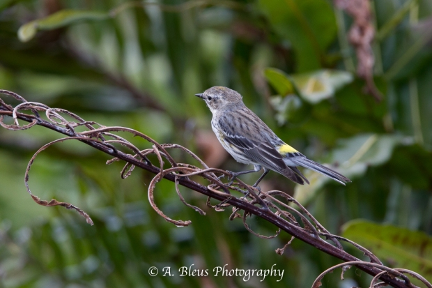 Yellow-rumped Warbler_93E9771-2