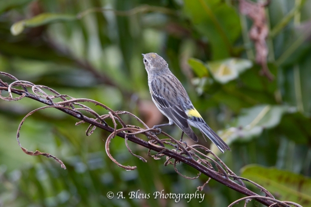 Yellow-rumped Warbler_93E9771-3