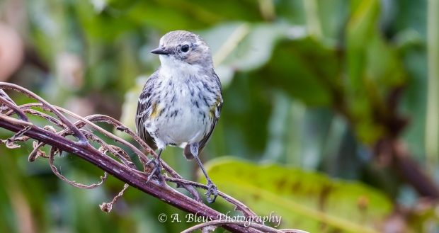 Yellow-rumped Warbler_93E9771