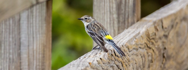 Yellow-rumped Warbler_93E9794