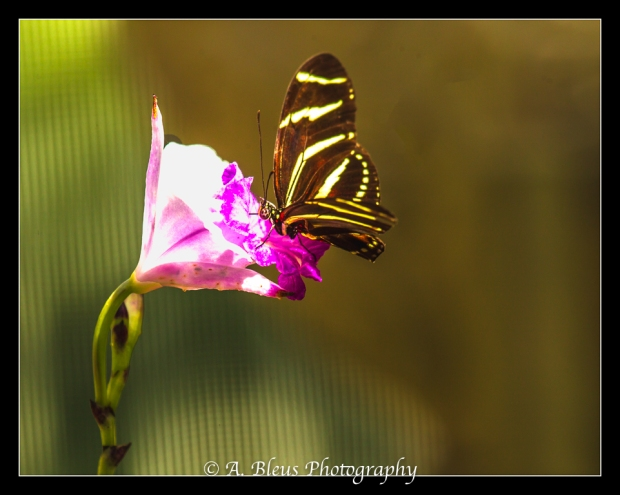 Zebra Longwing Butterfly on ground orchid