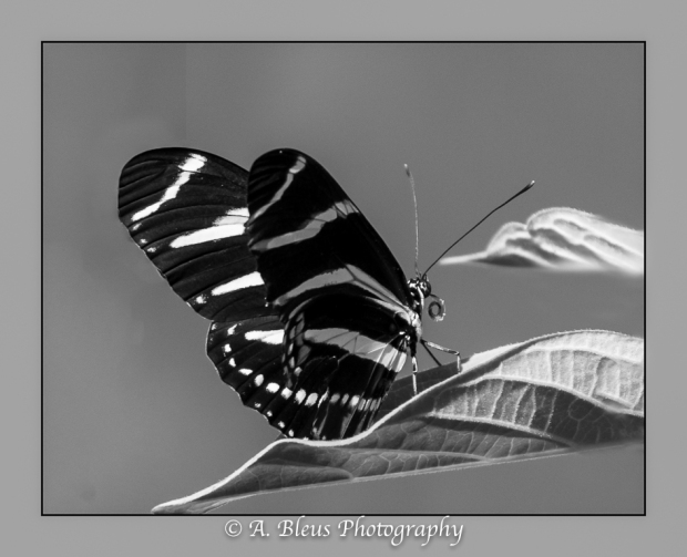 Zebra Longwing Butterfly on leaf in B&W_93E9466