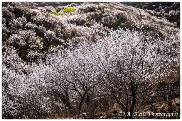 Cherry Blossom, Beijing MG_2482