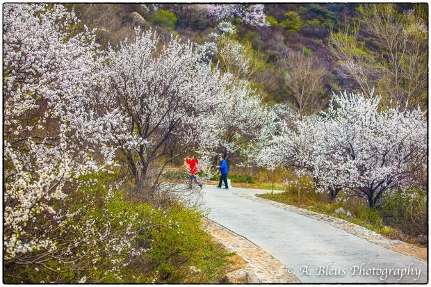 Cherry Blossom, Beijing MG_2532