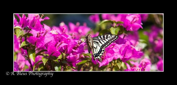 Butterfly on Bougainvillea Flower, Xian-2