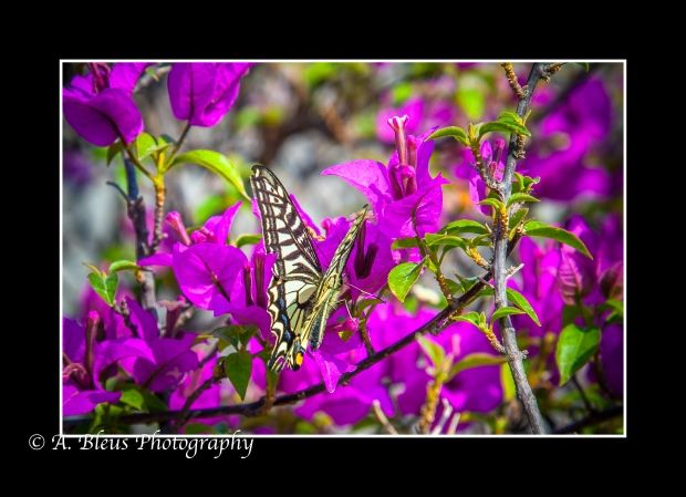 Butterfly on Bougainvillea Flower, Xian