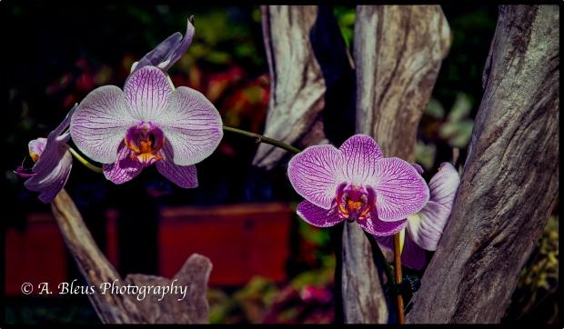 Phalaenopsis Orchid_93E1341