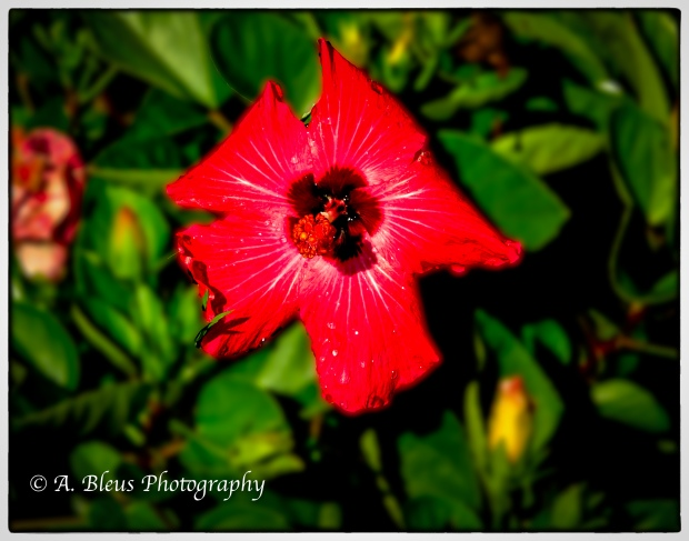 Red Hibiscus _93E1240