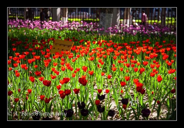 Tulip Garden at Xingqing Park, Xian-2