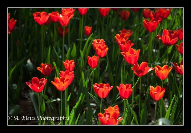 Tulip Garden at Xingqing Park, Xian-3