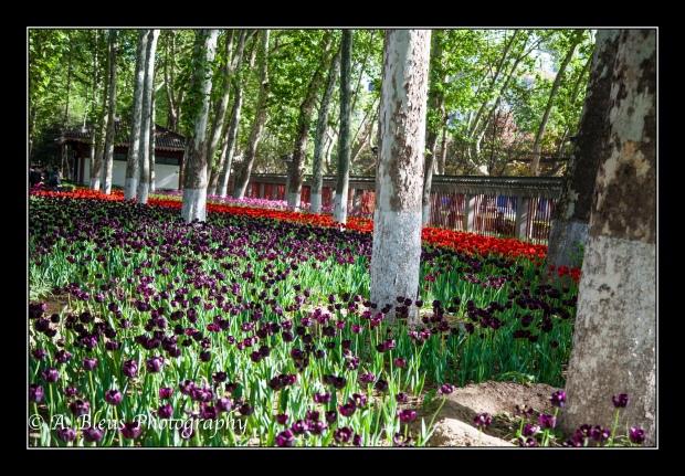 Tulip Garden at Xingqing Park, Xian