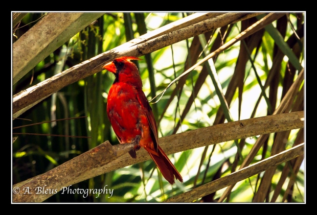 Male Northern Cardinal_93E1568-2