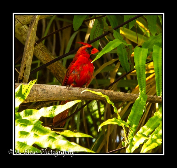 Male Northern Cardinal_93E1568