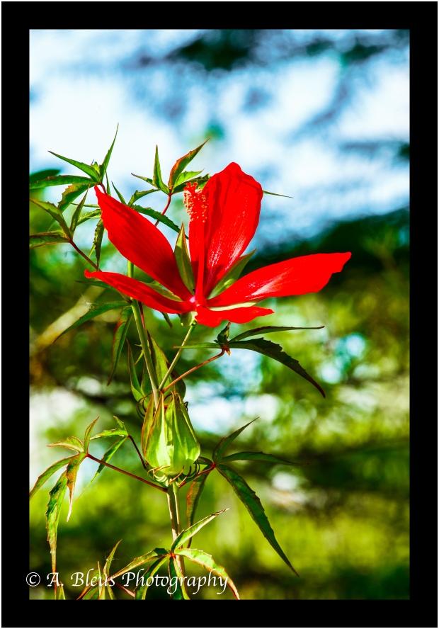 Swamp Hibiscus_93E1497