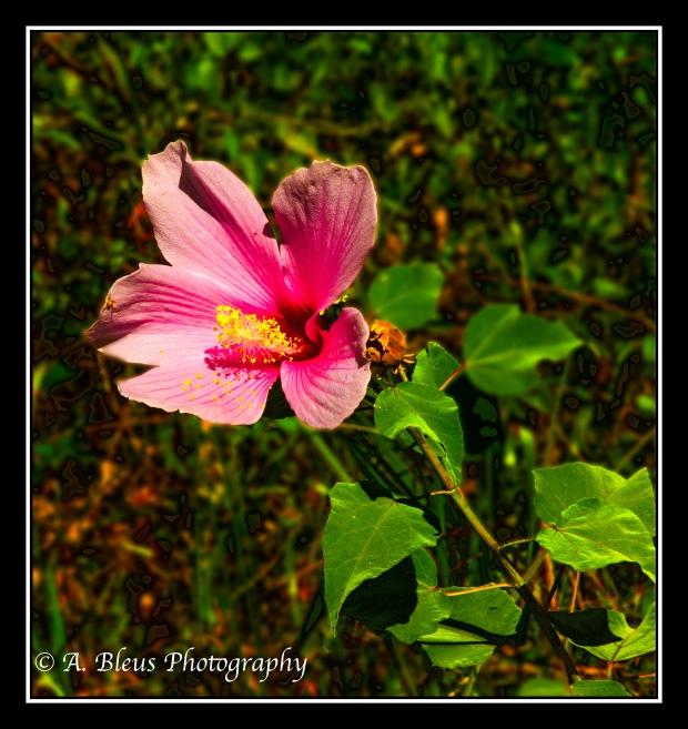 Swamp Hibiscus_93E1508