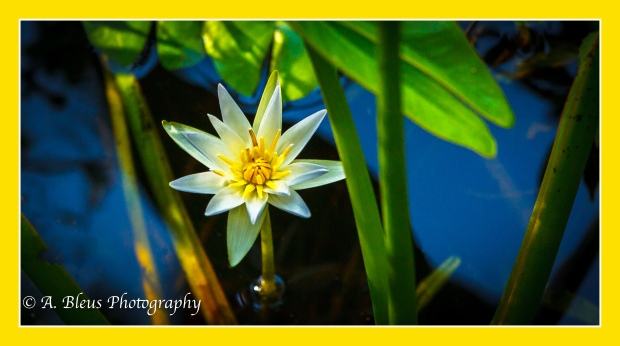 Swamp Lilies_93E1515-2
