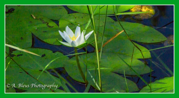Swamp Lilies_93E1515