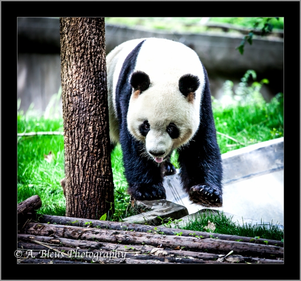 giant-panda-chengdu-mg_3521