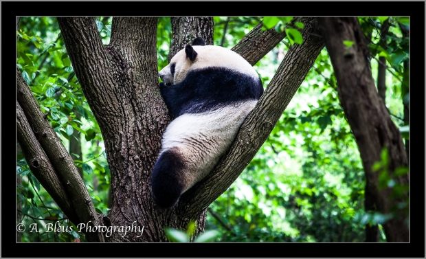 giant-panda-on-tree-chengdu-mg_3544-2