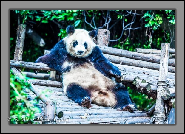 giant-pandas-chengdu-mg_3367-1