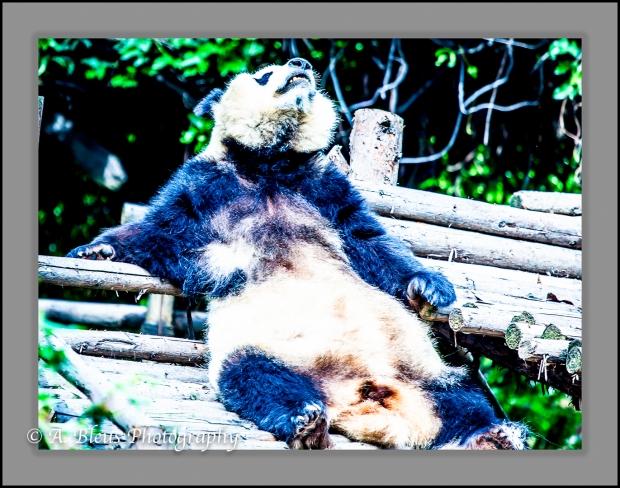 giant-pandas-chengdu-mg_3367-2