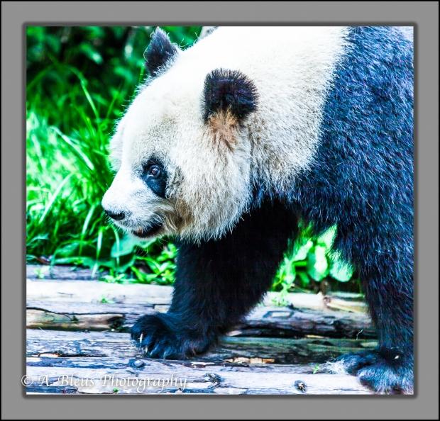 giant-pandas-chengdu-mg_3367-4