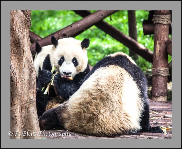 giant-pandas-chengdu-mg_3449-1