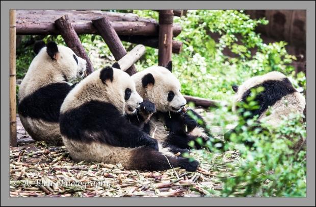 giant-pandas-chengdu-mg_3449-2