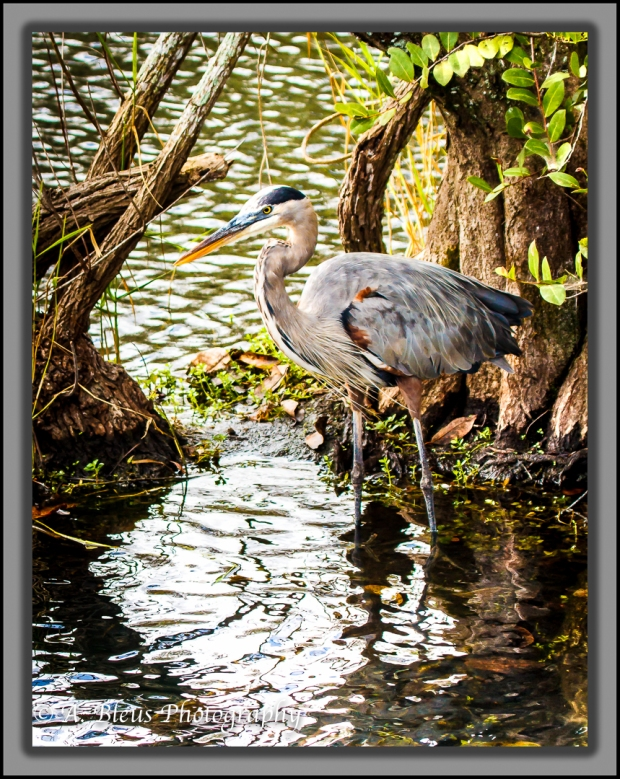 great-blue-heron-mg_2144