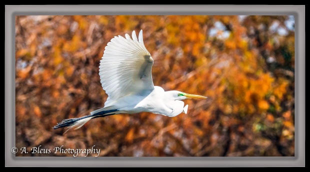great-egret-in-flight_93e9154