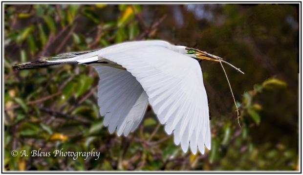 great-egret-in-flight_93e9198