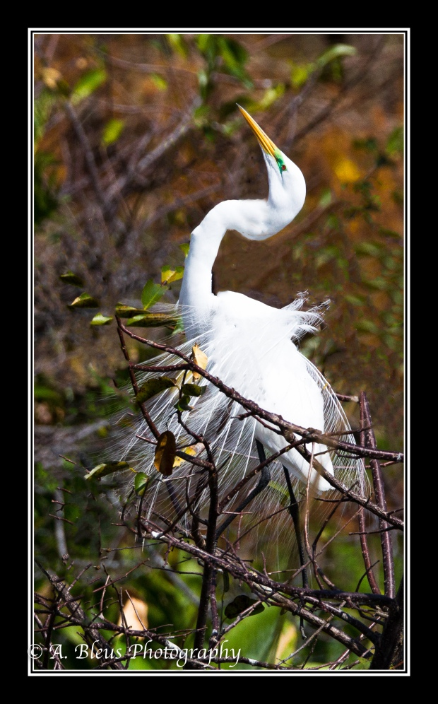 great-egret-in-flight_93e9217