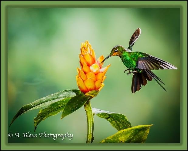hummingbird_x0a0045