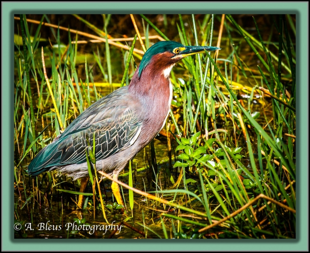 little-green-heron-mg_2223