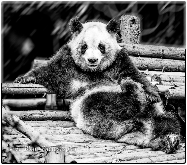 panda-bears-in-bw-china-mg_3345
