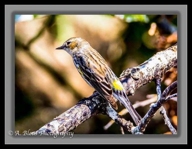yellow-rumped-warbler-_93e9220