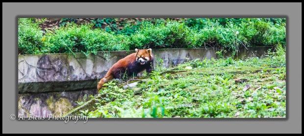 red-panda-chengdu-mg_3463-2