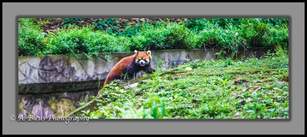 red-panda-chengdu-mg_3463