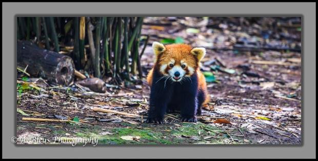 red-panda-chengdu-mg_3483-1