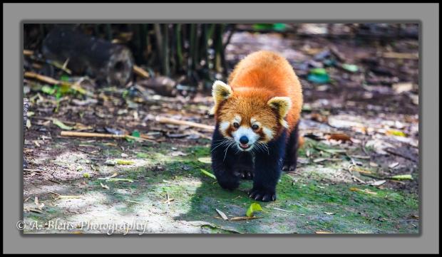 red-panda-chengdu-mg_3483-2