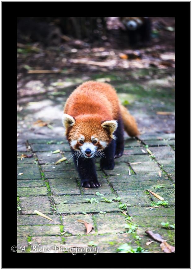 red-panda-chengdu-mg_3483-3