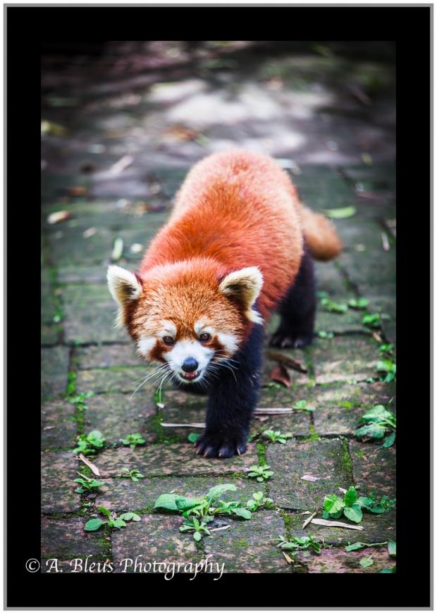 red-panda-chengdu-mg_3483-4