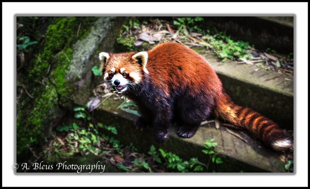 red-panda-chengdu-mg_3489-2