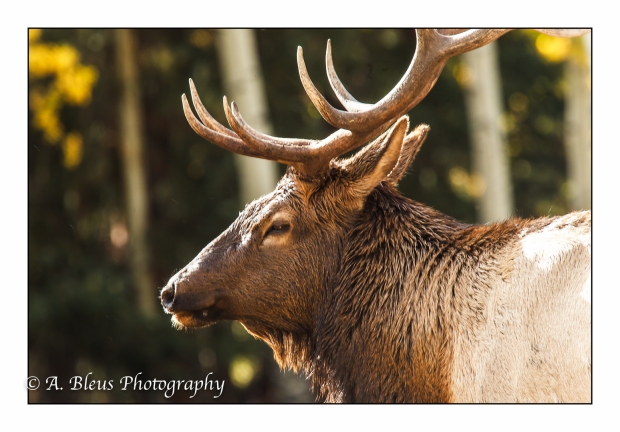 elk-profile-rocky-mountain-national-park-colorado_93e2205-2